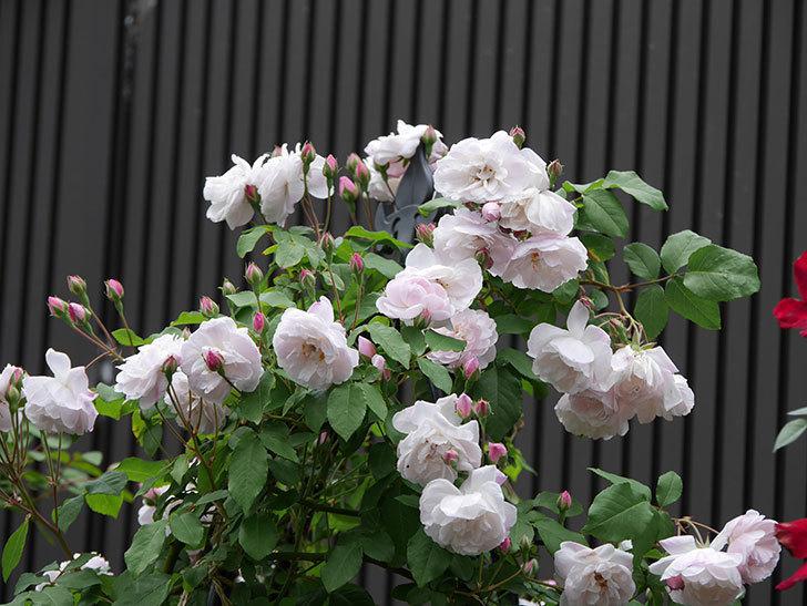 ブラッシュ・ノワゼット(ツルバラ)の花が増えて来た。2019年-1.jpg