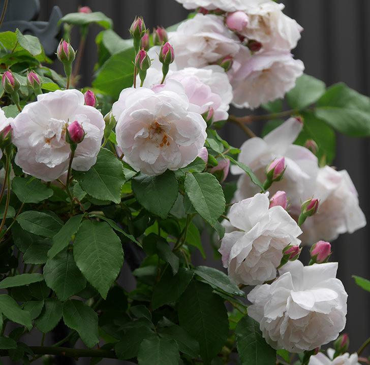 ブラッシュ・ノワゼット(ツルバラ)の花が増えて来た。2019年-10.jpg