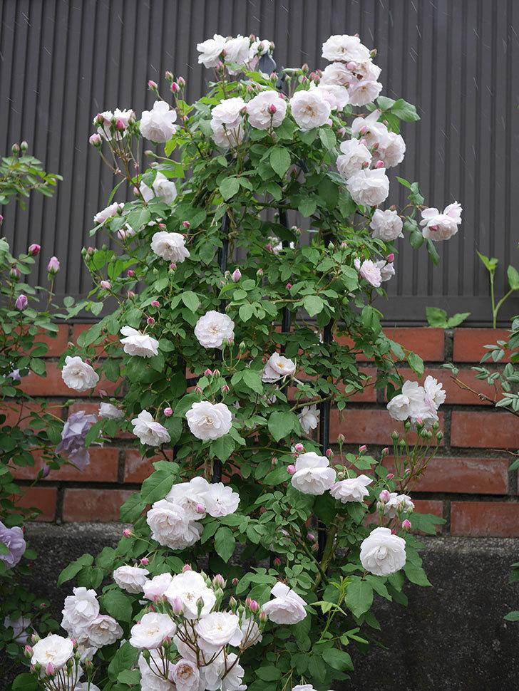 ブラッシュ・ノワゼット(ツルバラ)の花が増えて来た。2019年-11.jpg