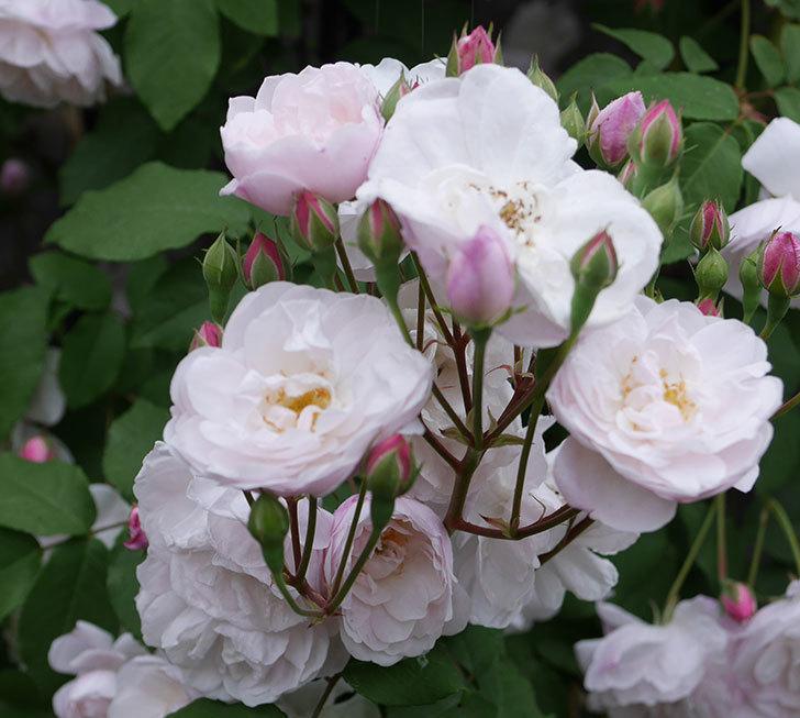 ブラッシュ・ノワゼット(ツルバラ)の花が増えて来た。2019年-12.jpg