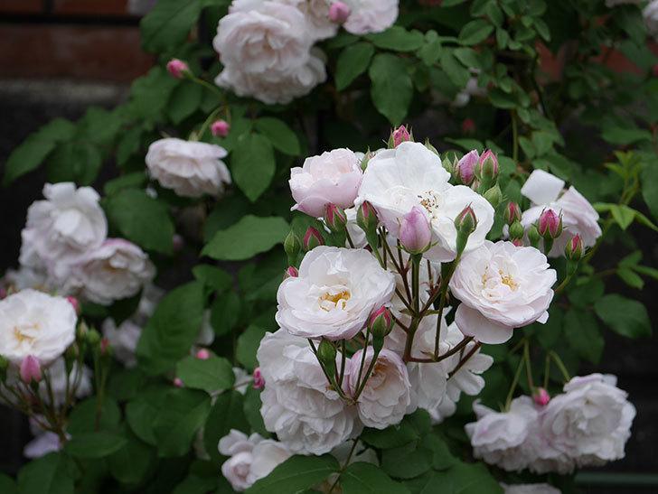 ブラッシュ・ノワゼット(ツルバラ)の花が増えて来た。2019年-13.jpg