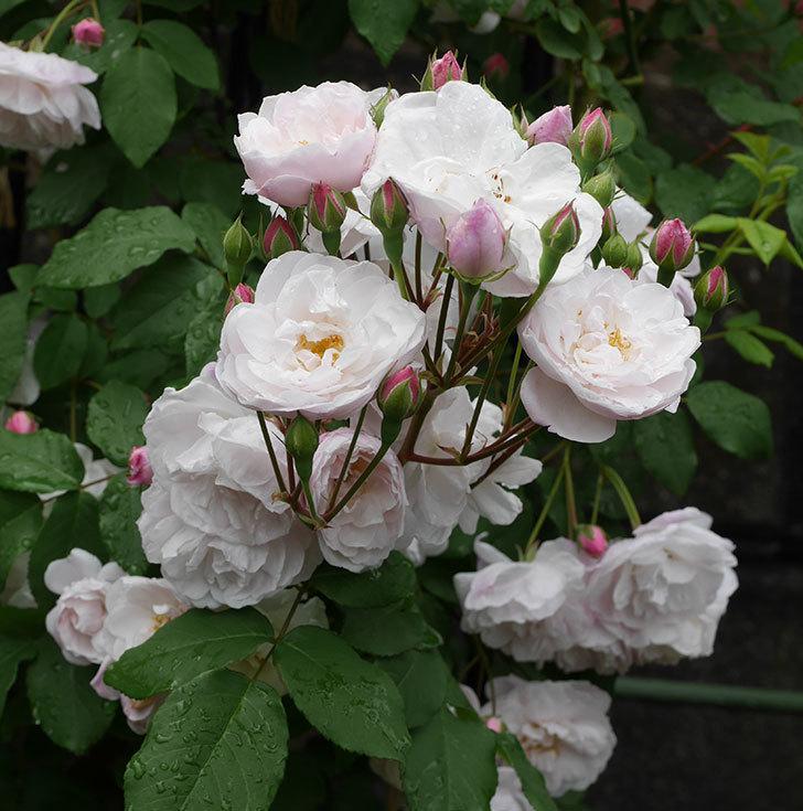 ブラッシュ・ノワゼット(ツルバラ)の花が増えて来た。2019年-15.jpg