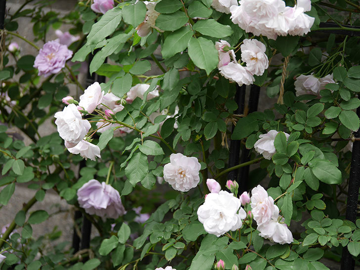 ブラッシュ・ノワゼット(ツルバラ)の花が増えて来た。2019年-2.jpg