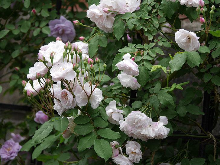 ブラッシュ・ノワゼット(ツルバラ)の花が増えて来た。2019年-3.jpg