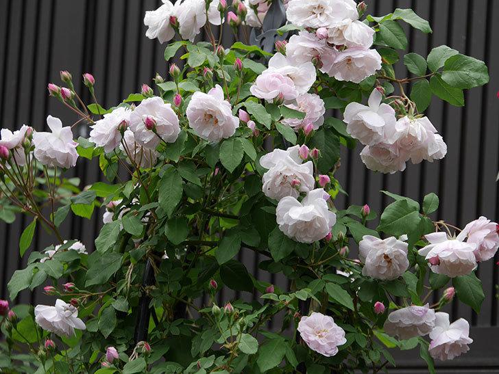 ブラッシュ・ノワゼット(ツルバラ)の花が増えて来た。2019年-4.jpg