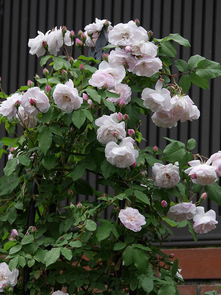 ブラッシュ・ノワゼット(ツルバラ)の花が増えて来た。2019年-5.jpg