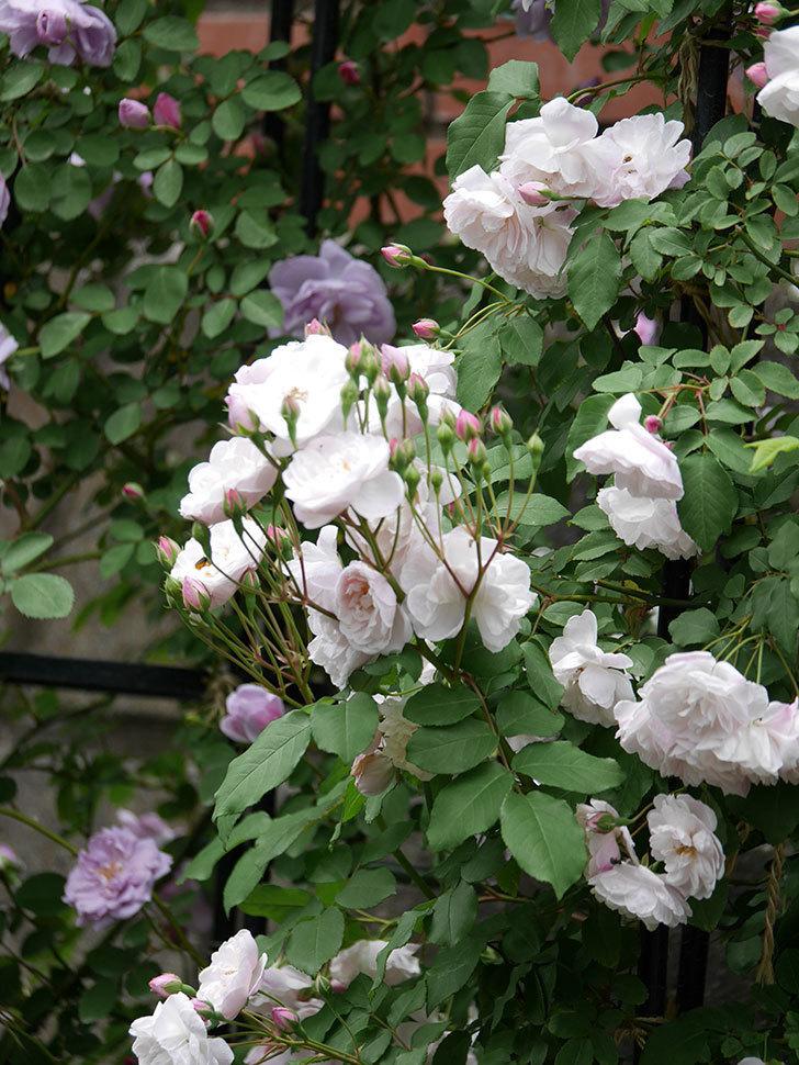 ブラッシュ・ノワゼット(ツルバラ)の花が増えて来た。2019年-6.jpg
