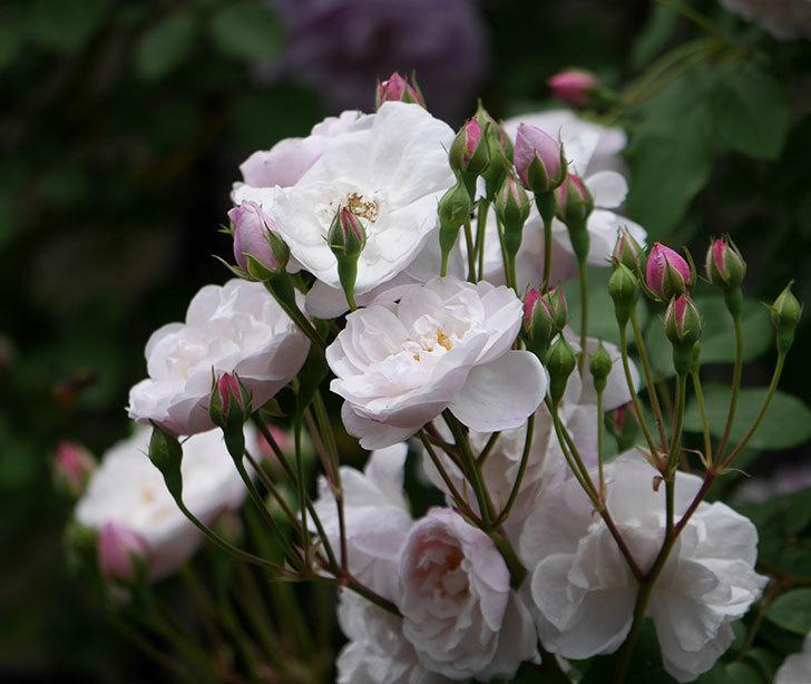ブラッシュ・ノワゼット(ツルバラ)の花が増えて来た。2019年-7.jpg
