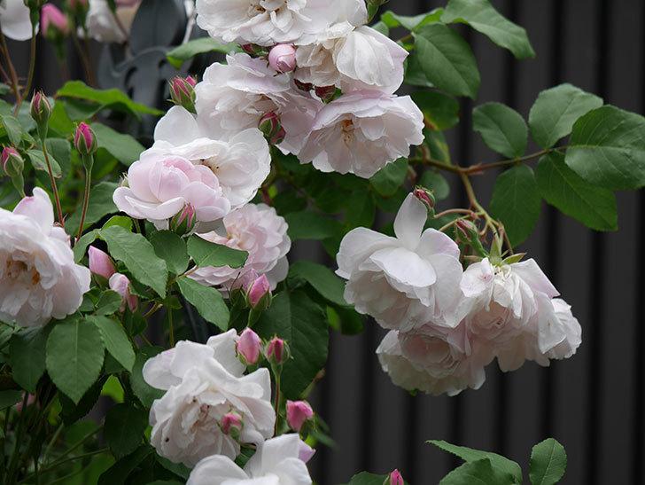 ブラッシュ・ノワゼット(ツルバラ)の花が増えて来た。2019年-8.jpg