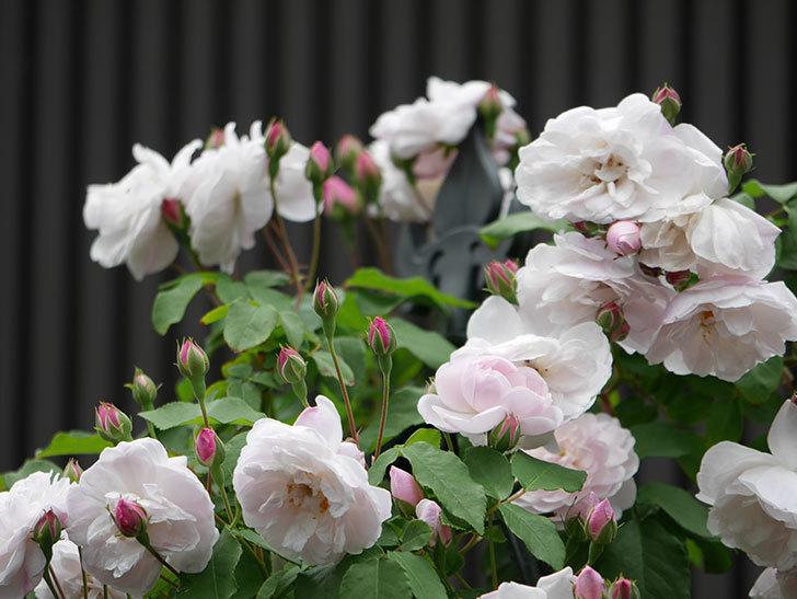 ブラッシュ・ノワゼット(ツルバラ)の花が増えて来た。2019年-9.jpg