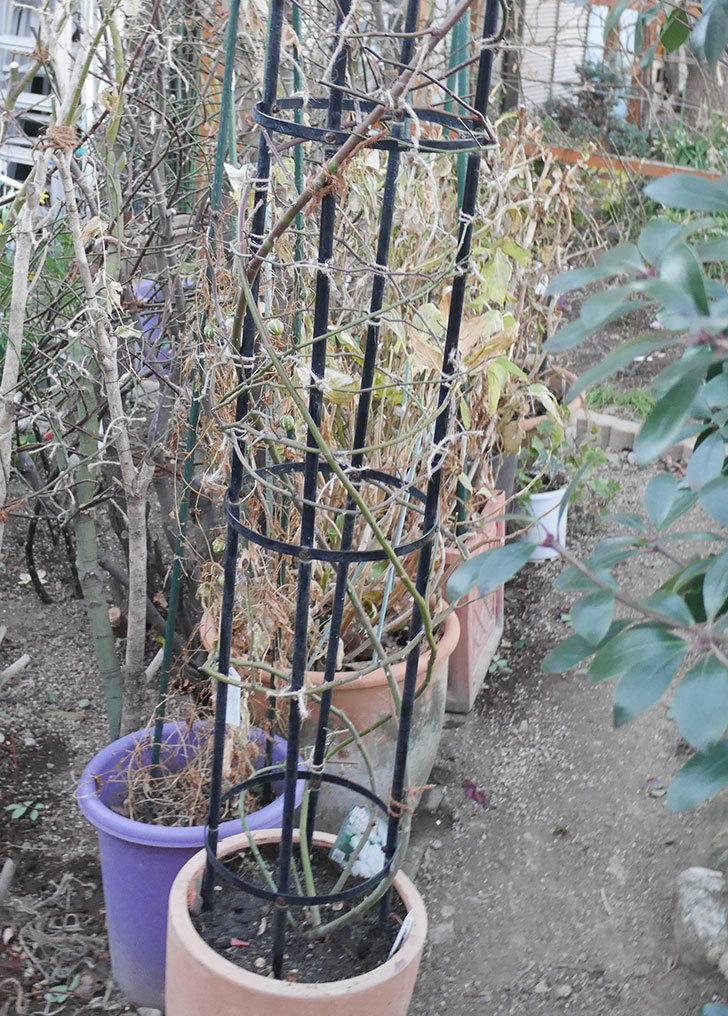 ブラッシュ・ノワゼット(ツルバラ)の鉢植えをオベリスクに誘引した。2019年-1.jpg