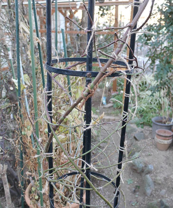 ブラッシュ・ノワゼット(ツルバラ)の鉢植えをオベリスクに誘引した。2019年-10.jpg