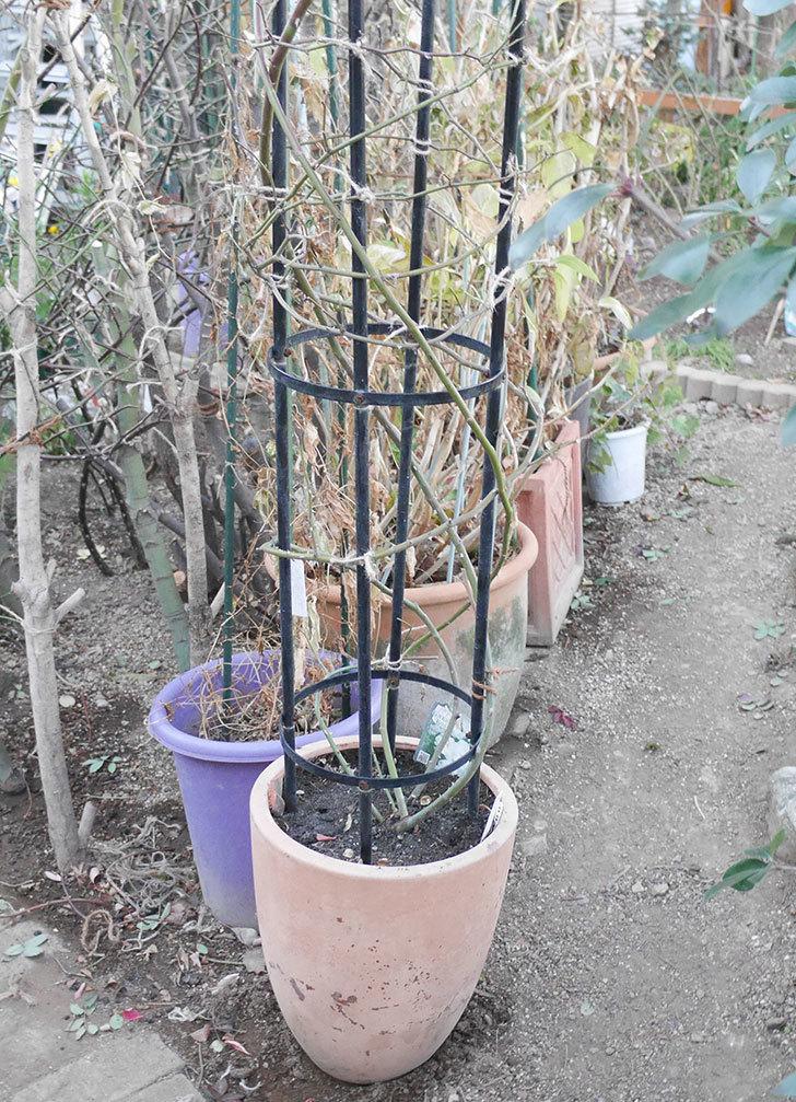 ブラッシュ・ノワゼット(ツルバラ)の鉢植えをオベリスクに誘引した。2019年-11.jpg