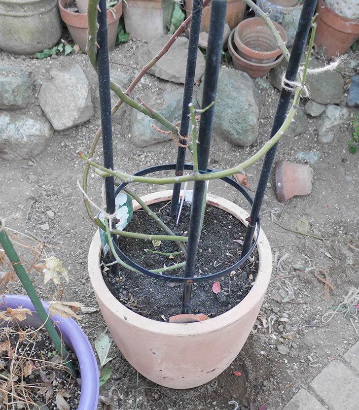 ブラッシュ・ノワゼット(ツルバラ)の鉢植えをオベリスクに誘引した。2019年-12.jpg