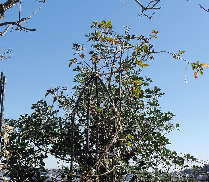 ブラッシュ・ノワゼット(ツルバラ)の鉢植えをオベリスクに誘引した。2019年-3.jpg