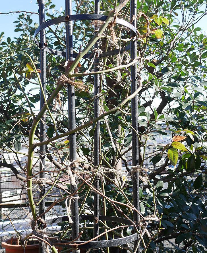 ブラッシュ・ノワゼット(ツルバラ)の鉢植えをオベリスクに誘引した。2019年-4.jpg