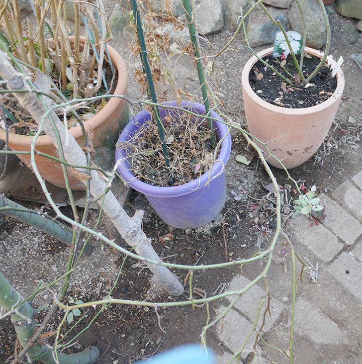 ブラッシュ・ノワゼット(ツルバラ)の鉢植えをオベリスクに誘引した。2019年-6.jpg