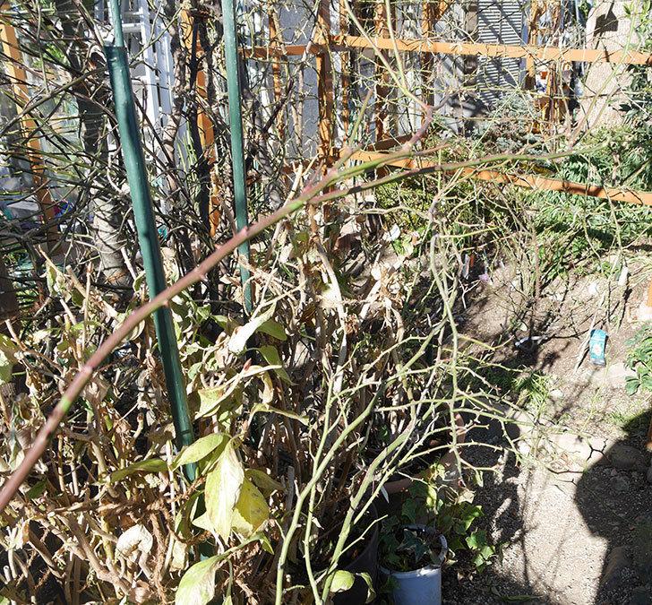 ブラッシュ・ノワゼット(ツルバラ)の鉢植えをオベリスクに誘引した。2019年-7.jpg