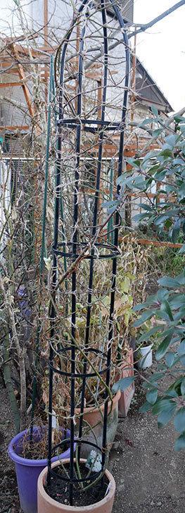 ブラッシュ・ノワゼット(ツルバラ)の鉢植えをオベリスクに誘引した。2019年-9.jpg
