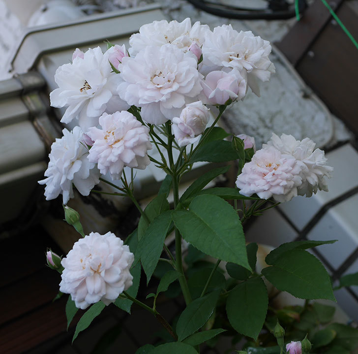 ブラッシュ・ノワゼット(半ツルバラ)の夏花が房で咲いた。2019年-1.jpg
