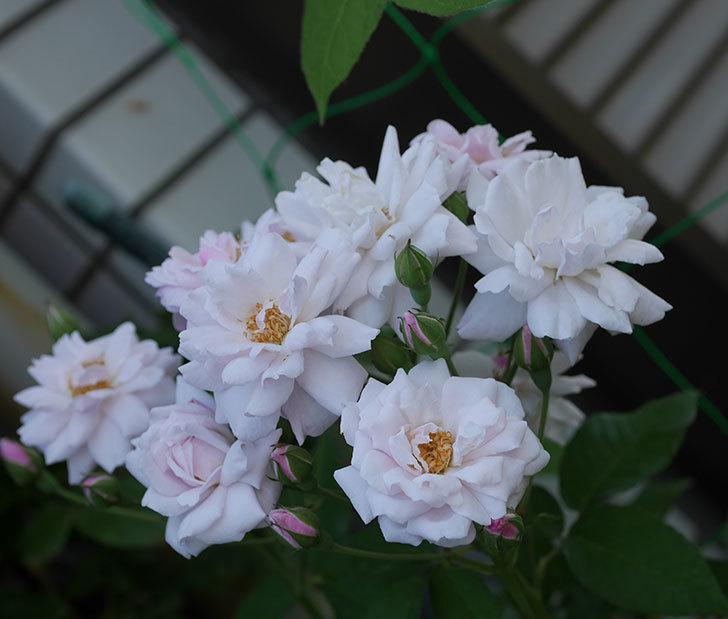 ブラッシュ・ノワゼット(半ツルバラ)の夏花が房で咲いた。2019年-2.jpg