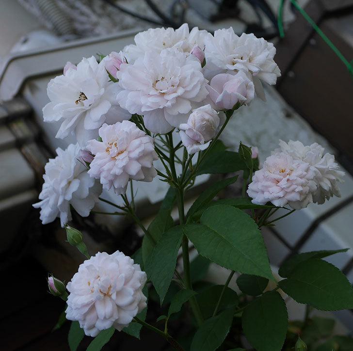ブラッシュ・ノワゼット(半ツルバラ)の夏花が房で咲いた。2019年-3.jpg