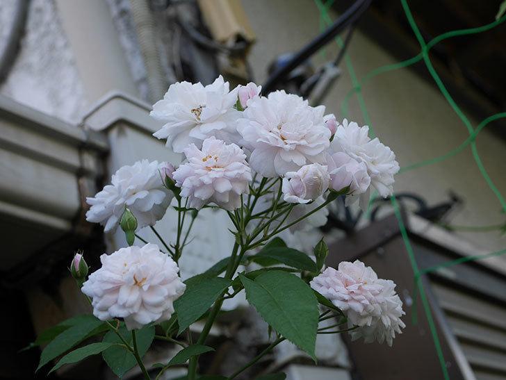 ブラッシュ・ノワゼット(半ツルバラ)の夏花が房で咲いた。2019年-4.jpg