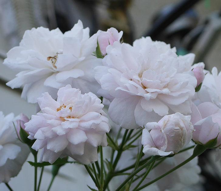 ブラッシュ・ノワゼット(半ツルバラ)の夏花が房で咲いた。2019年-5.jpg
