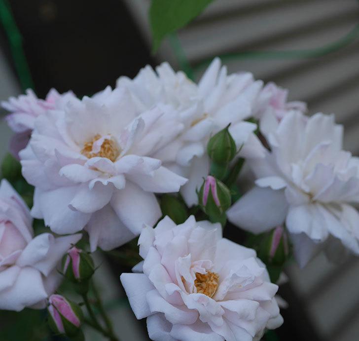 ブラッシュ・ノワゼット(半ツルバラ)の夏花が房で咲いた。2019年-6.jpg