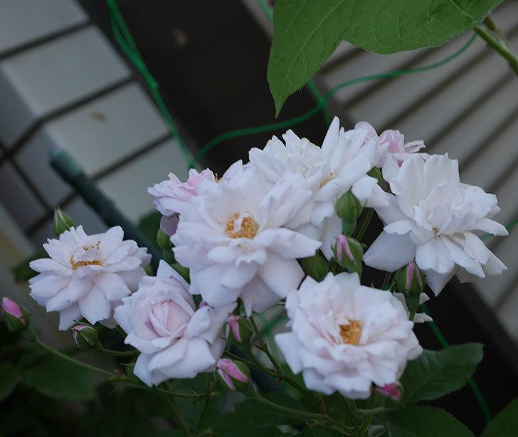 ブラッシュ・ノワゼット(半ツルバラ)の夏花が房で咲いた。2019年-7.jpg