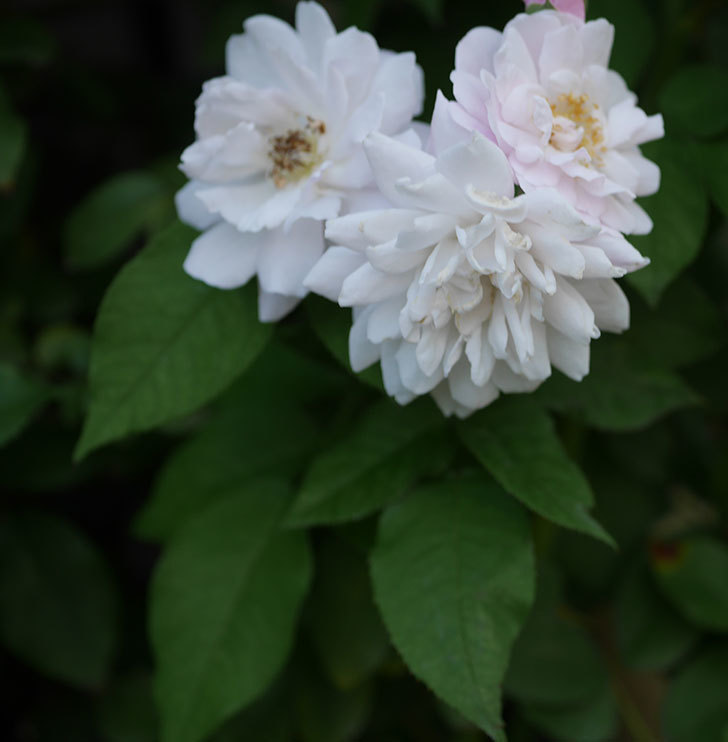 ブラッシュ・ノワゼット(半ツルバラ)の夏花が房で咲いた。2019年-8.jpg