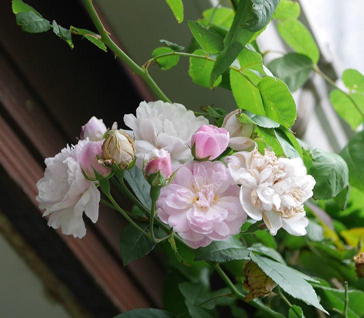 ブラッシュ・ノワゼット(半ツルバラ)の秋花が咲いた。2019年-1.jpg