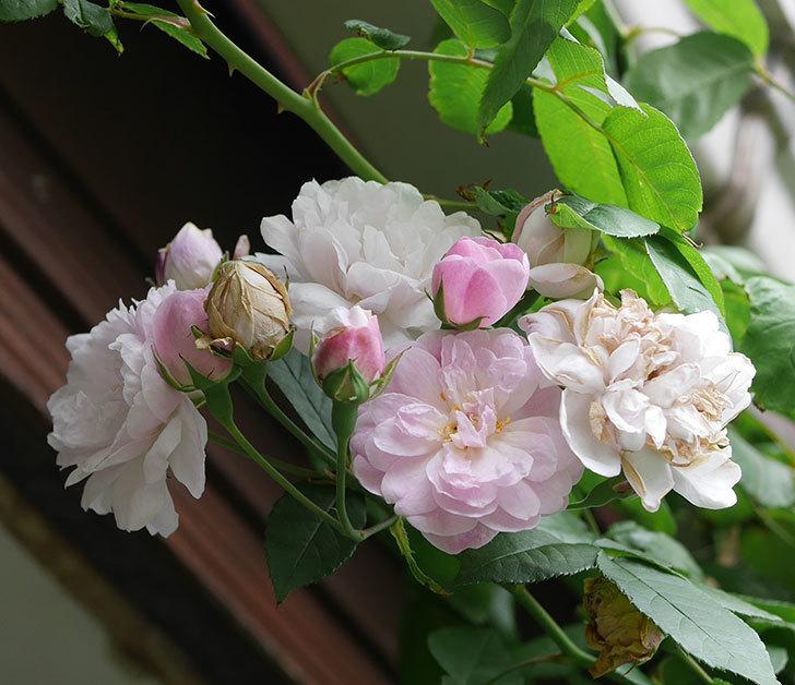 ブラッシュ・ノワゼット(半ツルバラ)の秋花が咲いた。2019年-2.jpg