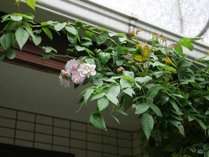 ブラッシュ・ノワゼット(半ツルバラ)の秋花が咲いた。2019年-3.jpg