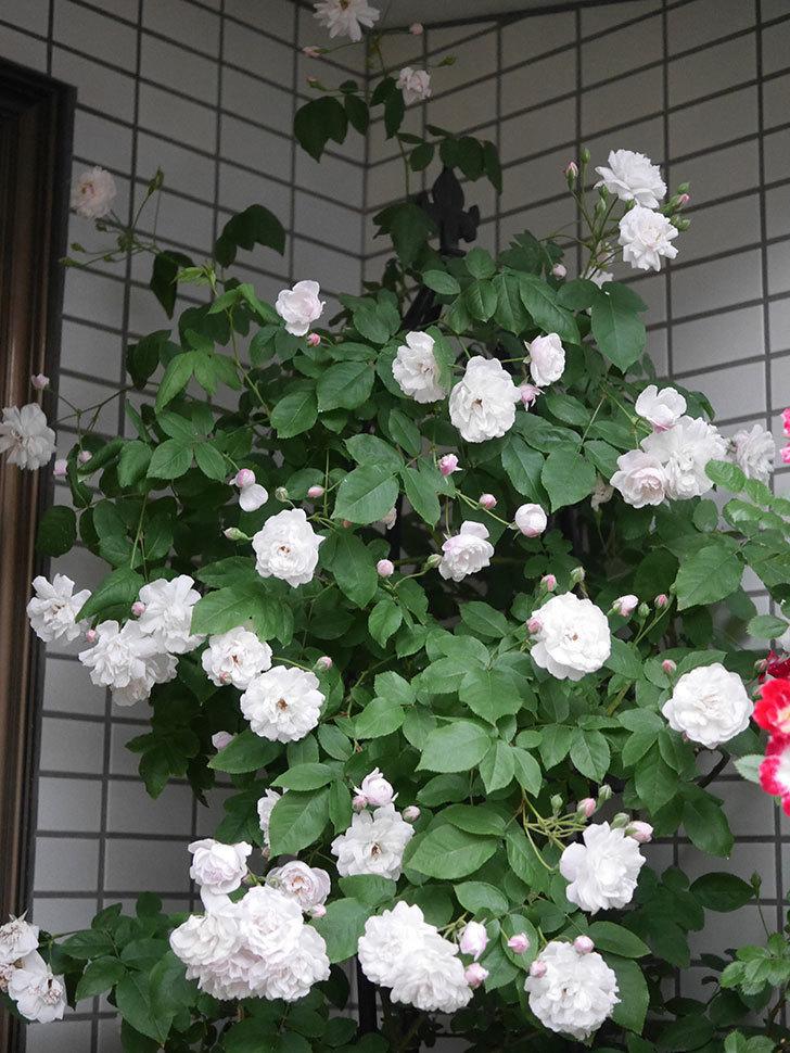 ブラッシュ・ノワゼット(半ツルバラ)の花がたくさん咲いた。2020年-001.jpg