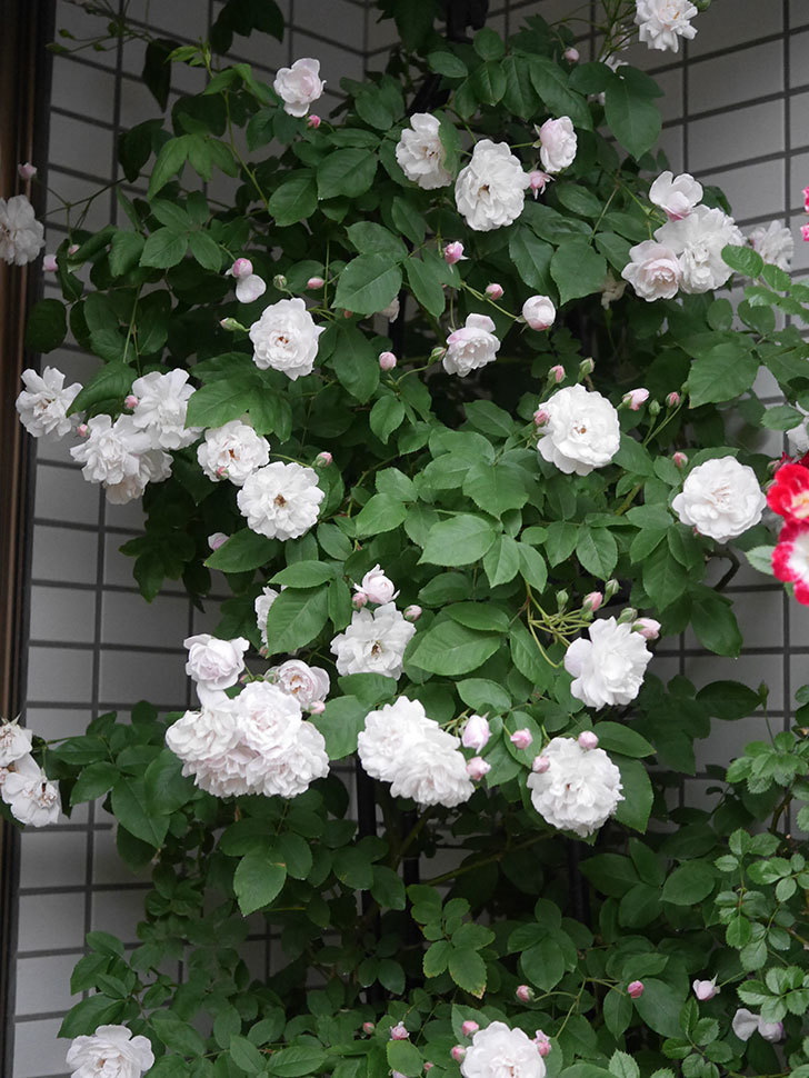 ブラッシュ・ノワゼット(半ツルバラ)の花がたくさん咲いた。2020年-002.jpg