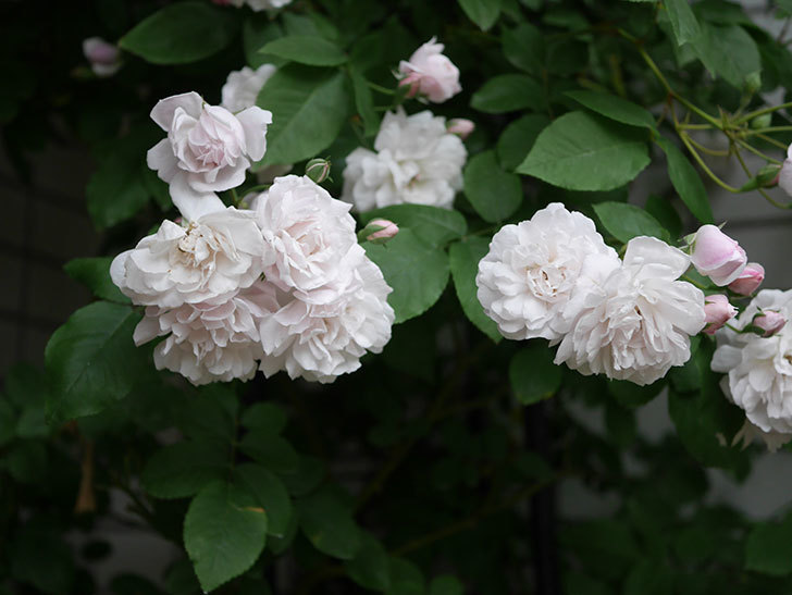 ブラッシュ・ノワゼット(半ツルバラ)の花がたくさん咲いた。2020年-003.jpg