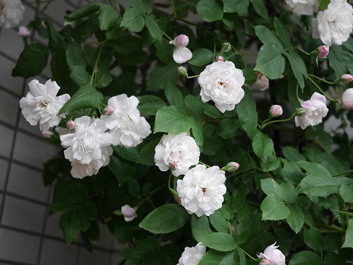ブラッシュ・ノワゼット(半ツルバラ)の花がたくさん咲いた。2020年-004.jpg