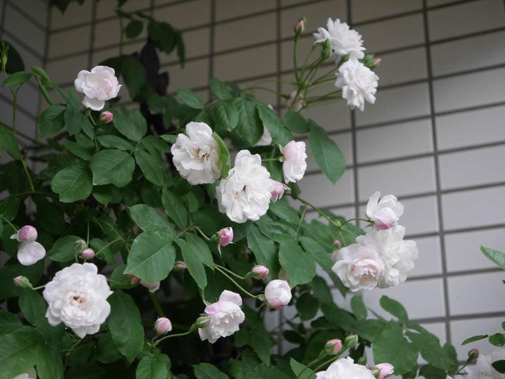 ブラッシュ・ノワゼット(半ツルバラ)の花がたくさん咲いた。2020年-005.jpg
