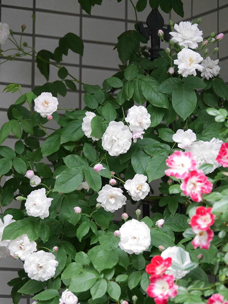 ブラッシュ・ノワゼット(半ツルバラ)の花がたくさん咲いた。2020年-006.jpg