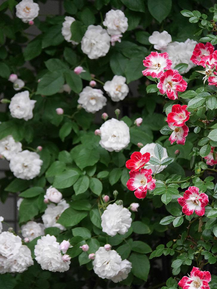 ブラッシュ・ノワゼット(半ツルバラ)の花がたくさん咲いた。2020年-007.jpg