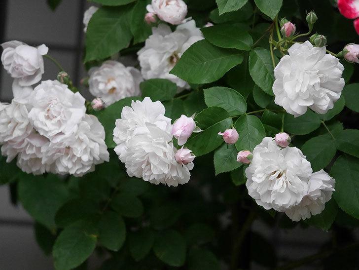 ブラッシュ・ノワゼット(半ツルバラ)の花がたくさん咲いた。2020年-009.jpg