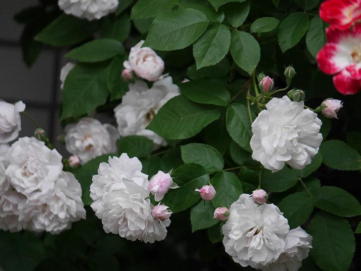 ブラッシュ・ノワゼット(半ツルバラ)の花がたくさん咲いた。2020年-010.jpg