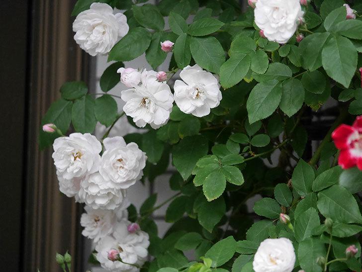 ブラッシュ・ノワゼット(半ツルバラ)の花がたくさん咲いた。2020年-011.jpg