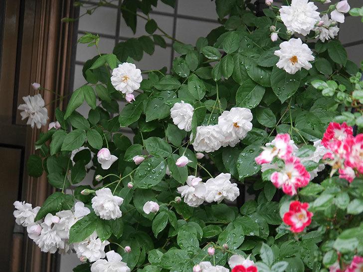 ブラッシュ・ノワゼット(半ツルバラ)の花がたくさん咲いた。2020年-012.jpg