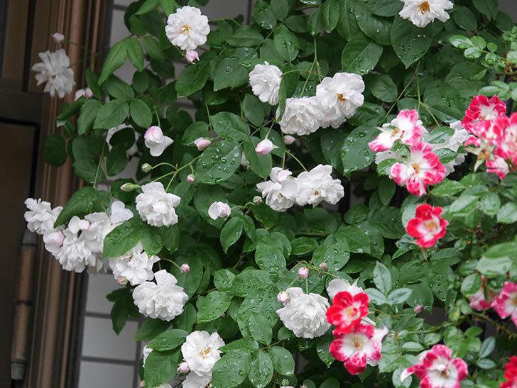 ブラッシュ・ノワゼット(半ツルバラ)の花がたくさん咲いた。2020年-013.jpg