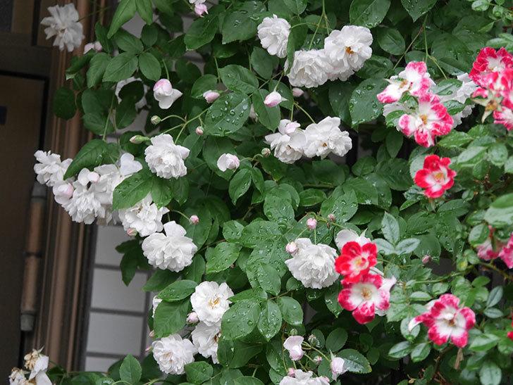 ブラッシュ・ノワゼット(半ツルバラ)の花がたくさん咲いた。2020年-014.jpg