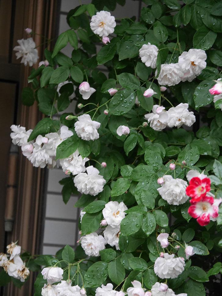 ブラッシュ・ノワゼット(半ツルバラ)の花がたくさん咲いた。2020年-015.jpg
