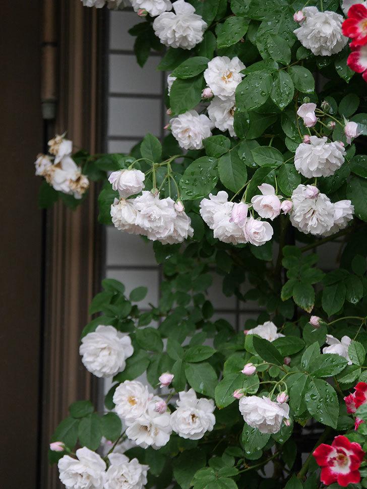 ブラッシュ・ノワゼット(半ツルバラ)の花がたくさん咲いた。2020年-016.jpg