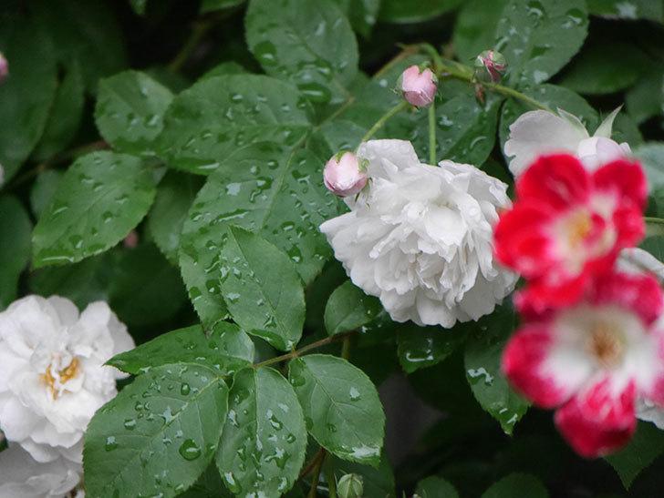 ブラッシュ・ノワゼット(半ツルバラ)の花がたくさん咲いた。2020年-018.jpg